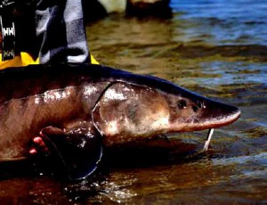 sturgeon in Michigan