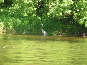Undeterred by the kayaks moving by, he concentrates on his business