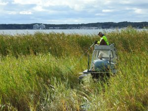 treatment of of Phragmites and Purple Loosestrife invasive species in Michigan