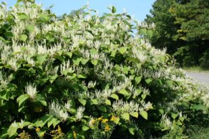 Japanese Knotweed found near the Muskegon River in Michigan