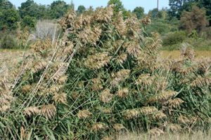 Phragmites is an invasive plant species found in Michigan near the Muskegon River watershed