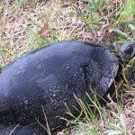 The Blandings Turtle